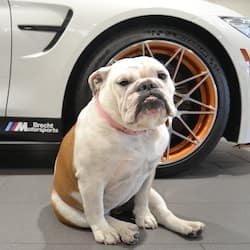 Daisy The English Bulldog