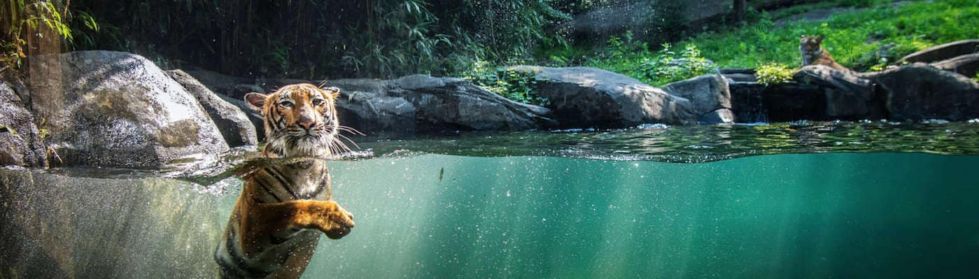 Tiger swimming in water in habitat at Bronx Zoo