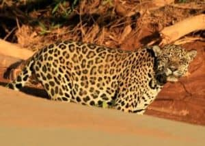 Jaguar in Madidi National Park, Bolivia