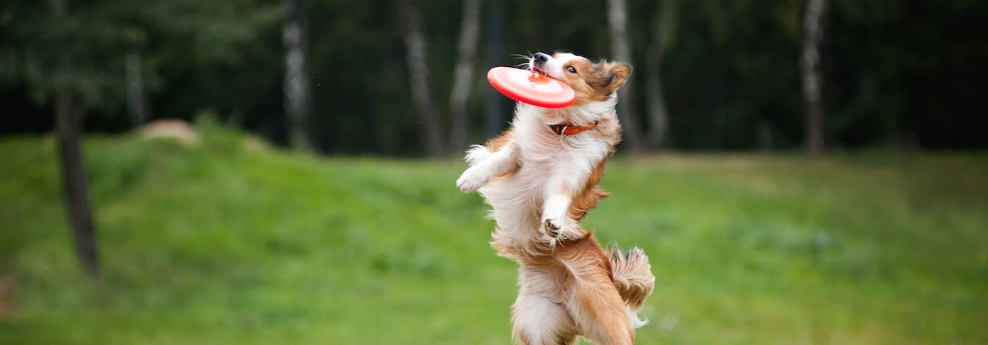 Border collie catching a frisbee in a dog park