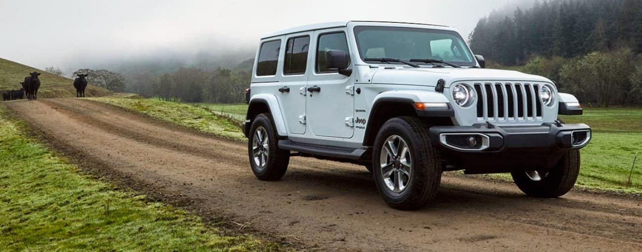 A white 2020 Jeep Wrangler is on a dirt road with black cows.