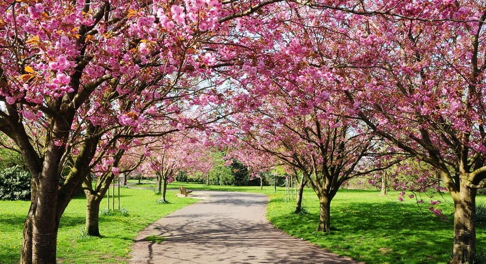 Cherry blossom tress are shown on each side of a walkway near Orange County.