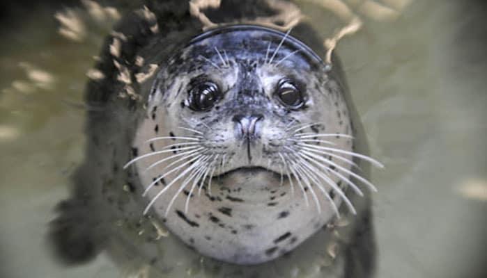 Harbor seal at Seaside Aquarium